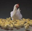 SUPPLIER/EXPORTER OF DAYs OLD CHICKS,COMMERCIAL BROILERS & LAYERS. - 1020