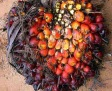 Natural Cheap Palm Kernel From Africa - 7